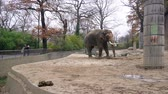 BERLIN, GERMANY - NOV 23, 2018: Big grey elephant and his dung, feces in Berlin zoological garden. Стоковые видеозаписи