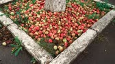 engradado : A lot of apples near the tree on the ground . Some apples are rotten. Red apples on the ground near the asphalt.