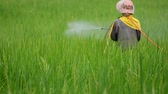 plant fertilizer : farmer spraying pesticide in rice farm