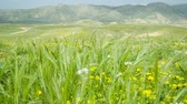 saturado : Waving grass with mountains on background Stock Footage