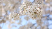 cherry blossom : closeup cherry blossom, flower background. Stock Footage