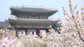 asian architecture : cherry blossom at gyeongbokgung palace in spring with tourist, South Korea.
