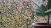 deštivý : colorful autumn leaves of tree branch with blurred ficus plant on windowsill, closeup full HD stock video footage in real-time