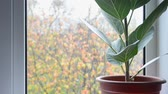 deštivý : domestic ficus plant on windowsill with water drops on window glass with blurred colorful autumn leaves background after rain, closeup full HD stock video footage in real-time Dostupné videozáznamy