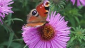 tavuskuşu : Butterfly peacock eye collects nectar on pink flower