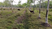 Aerial view and backward from cows living in nature with rubber trees plantation