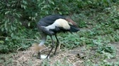 balearica : Crowned crane to sit on the nest (Balearica pavonina) Stock Footage