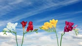 frezja : Time-lapse opening Freesia flower buds against the background of clouds, (Freesia)