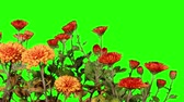 purple : Blooming orange chrysanthemum flower buds green screen, Full HD. (Chrysanthemum x morifolium Spicy Cheryl), timelapse