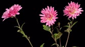 purple : Blooming violet chrysanthemum flower buds ALPHA matte, Full HD. (Chrysanthemum Heros Jean Guizonnier), timelapse