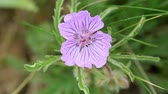 purple : Blooming Geranium in the steppe on a hurricane, Rostov region, Russia, Full HD (Geranium pratense L.)