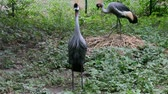 balearica : Crowned crane to sit on the nest Full HD. Balearica pavonina