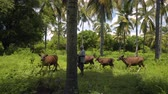 gili : Local indonesian man with cattle between lush palm trees greenery in Gili Meno, Indonesia. Stock Footage
