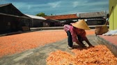 koníčky : Shrimp drying on ground in Cilacap, Java, Indonesia - indonesian woman gathering it with hard stick broom