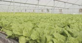 shortage : Hydrophonic lattuce growing in a greenhouse