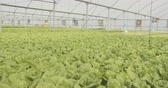 horticultura : Crane shot of Hydrophonic lattuce in a greenhouse