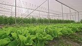 nutrientes : Vegetables growing in a greenhouse Stock Footage