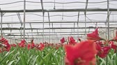 kreş : Amaryllis plants inside a large nethouse Stok Video