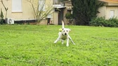megragad : Super slow motion of a white dog catching a tennis ball Stock mozgókép