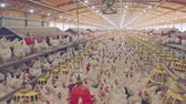 volaille : Large chicken farm with thousends of hens and roosters
