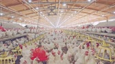 kohout : Large chicken farm with thousends of hens and roosters