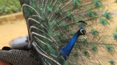 pavo cristatus : Male Indian Peafowl showing his feathers