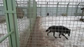 baton : Wolf in an aviary behind bars Wideo