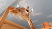 giraffe : Giraffe indoor head and foot details