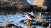 colorful : two oystercatcher birds standing on rock in ocean