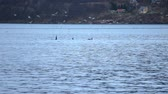 assassino : beautiful killer whales, orca, feeding amongst seagulls in blue fjord water in northern norway