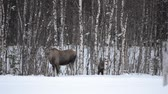 moço : moose calf and mother in winter landscape