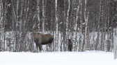 moço : moose calf and mother feeding on birch trees