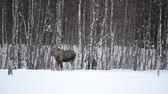 moço : moose mother and calf in winter landscape Stock Footage