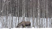 moço : moose mother feeding and walking
