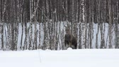 moço : female mother moose in winter forest Stock Footage