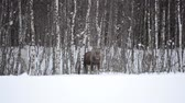 moço : standing moose mother with calf behind Stock Footage
