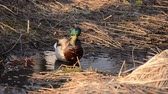 finding : female and male mallard duck couple looking for food in spring time forest