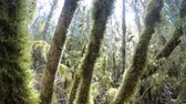 pirineus : branchs and trees covered with moss in pyrenean forest, Aude in south of France