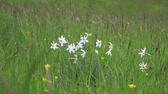 narcissus : Background of poets narcissus or nargis or findern flower or pinkster lily  in spring meadow, Narcissus poeticus