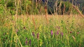 pirineus : Background of meadow of flowers and grass