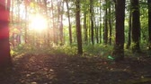 Description: Sunset beams through trees in forest. D-cinelike file for color grading.