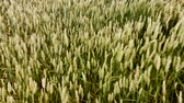 Winds of grain swinging in the wind. Stock Footage