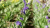 garden flowers : Different colors of iris in blooming garden in early June.