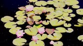 garden flowers : Blooming water lilies in the garden in early summer.