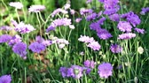 garden flowers : Blooming purple flowers in the summer garden.