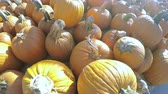 melhoria : Orange pumpkins for sale at the local garden center. Vídeos