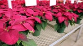 leaves : Poinsettia for sale at the local garden center.
