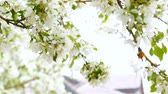 фрукты : Plum tree blooming with white flowers.