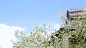 virágzik : Plum tree blooming with white flowers.