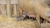 сарай : Piglets in the barn on the farm.